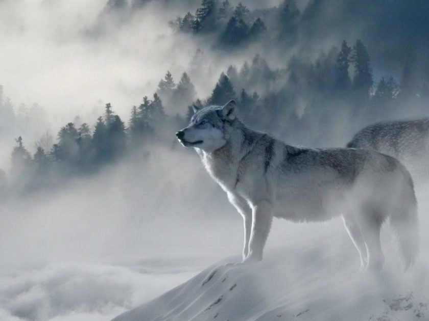 Wolf in snowing landscape
